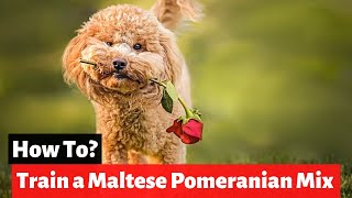 How to Train a Maltese Pomeranian Cross Breed (Maltipom)?