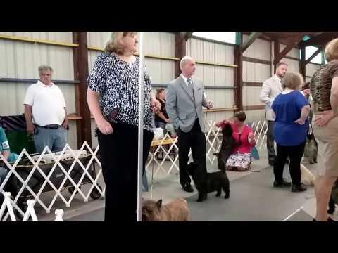 Widget Wins Select Dog Cairn Terrier at Lake Elmo AKC Dog Show 8/17/2017