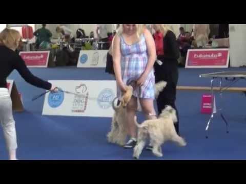 Irish Soft Coated Wheaten Terrier  World Dog Show 16 05 2013  Before the show
