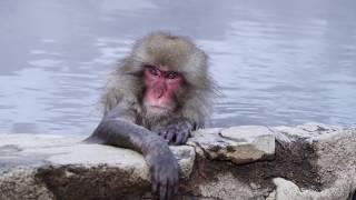 誰可以告訴我,猴子為什麼會有這種憂鬱青年的表情? 終於一圓到地獄谷野...