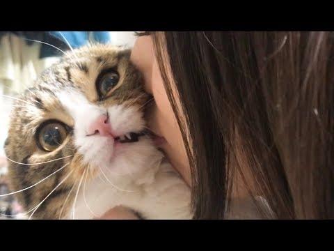 ママに猫吸いされて魂が抜けた猫【スコティッシュフォールド】【Scottish Fold】
