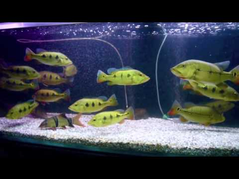Sidokter peacock bass tank 1 large m4v youtube for Bass fish tank