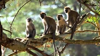 Bahiano - Macaco, Olha o Teu Rabo!