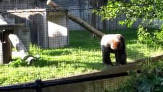 八木山動物園 ウラ門近くのゴリラのドンさん 閉園間近の16時過ぎお別...