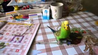 Развитие чувства власти в попугае - результат