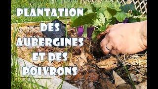 Cette semaine, les plants de poivrons et d'aubergine quittent le me...