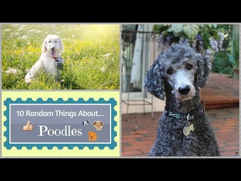 10 Random Things About...Poodles