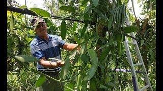 terbaru BIBIT VANILI ASAL STEK Siap Tanam Vanilli Vanila Vanilla Beans Paneli harga bersahabat