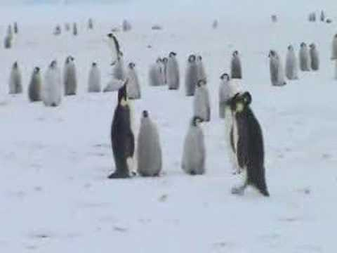 The Emperor Penguins of Atka Bay