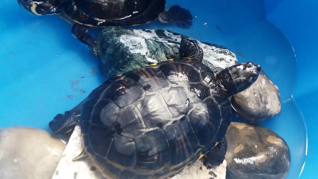 Tortues d 39 eau en bassin ext rieur youtube - Bassin tortue floride strasbourg ...
