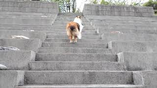 Sheltie Dog / Mocha Morning walk