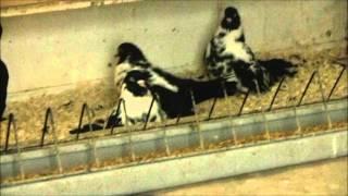 Мордовские чернорябые  голуби 06.01.16.