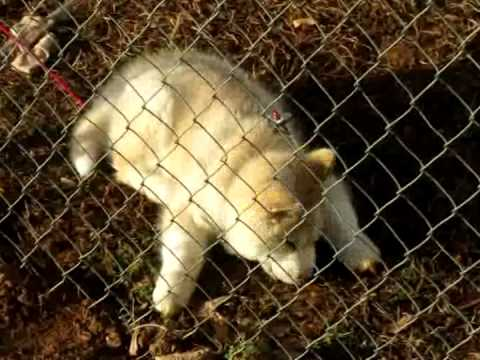 Siberian Husky Puppy Chewing Dirt