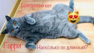 The longest cat?/  Самый длинный британский кот? 🤣/ British cat
