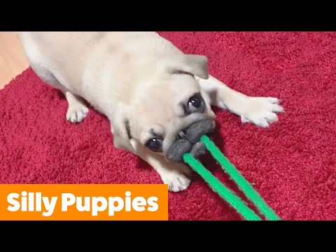 Adorable Silly Puppies | Funny Pet Videos