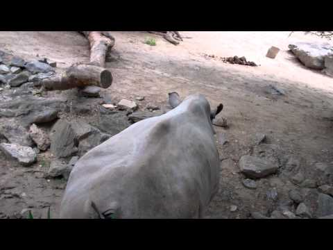 Hippo gets an Explosive Fart! | FunnyCat TV