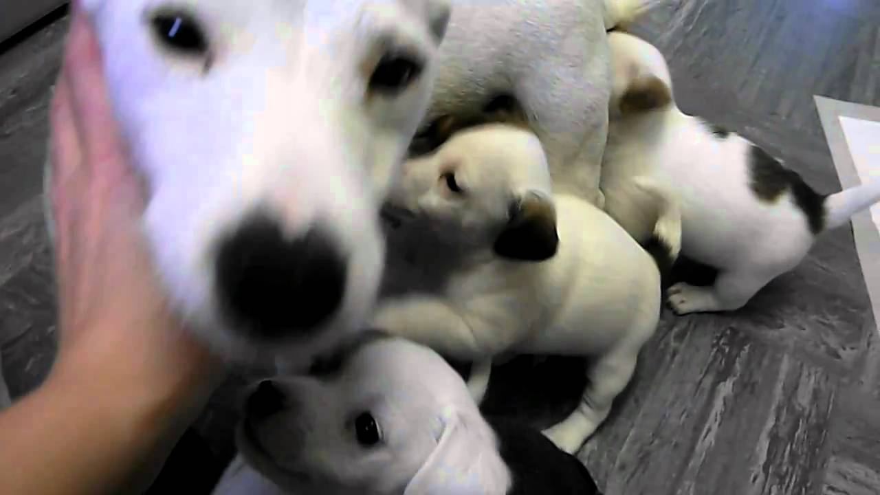 Chihuahua X Jack Russells Jackachi Puppies So Cute Youtube