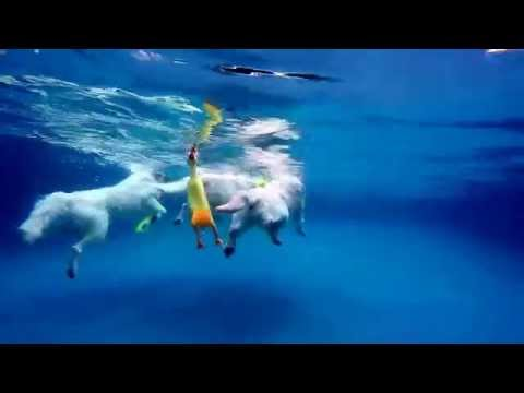 3 English Cream Golden Retrievers jump in & dive underwater for dog toys   5315