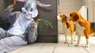 Funny Dogs Pranked With Carrots by Bugs Bunny : Cute Beagle Dog Louie