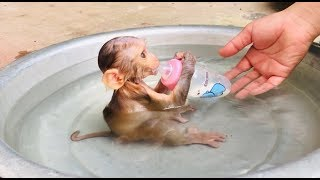 Baby Monkey TONY Diving and Drink Milk