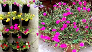 Brighten up the summer with colorful Portulaca/10 O'clock