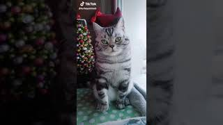 Cute Cat Video On Tiktok