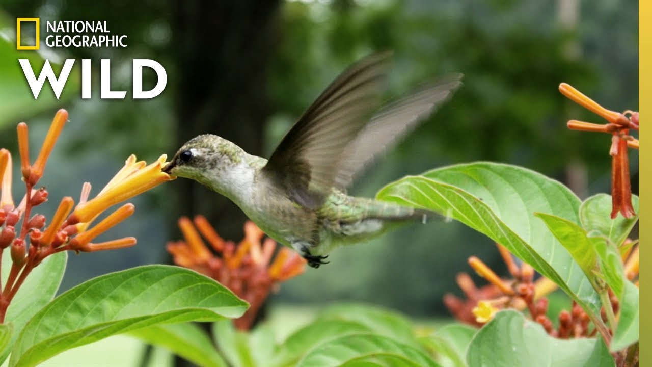 Why Do Hummingbirds Hover? | Nat Geo Wild