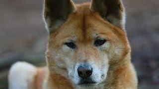 Dingo - Raza de Perro
