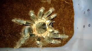 Паук-птицеед VS Мадагаскарский таракан