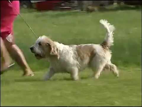Petit Basset Griffon Vendeen - AKC Dog Breed Series