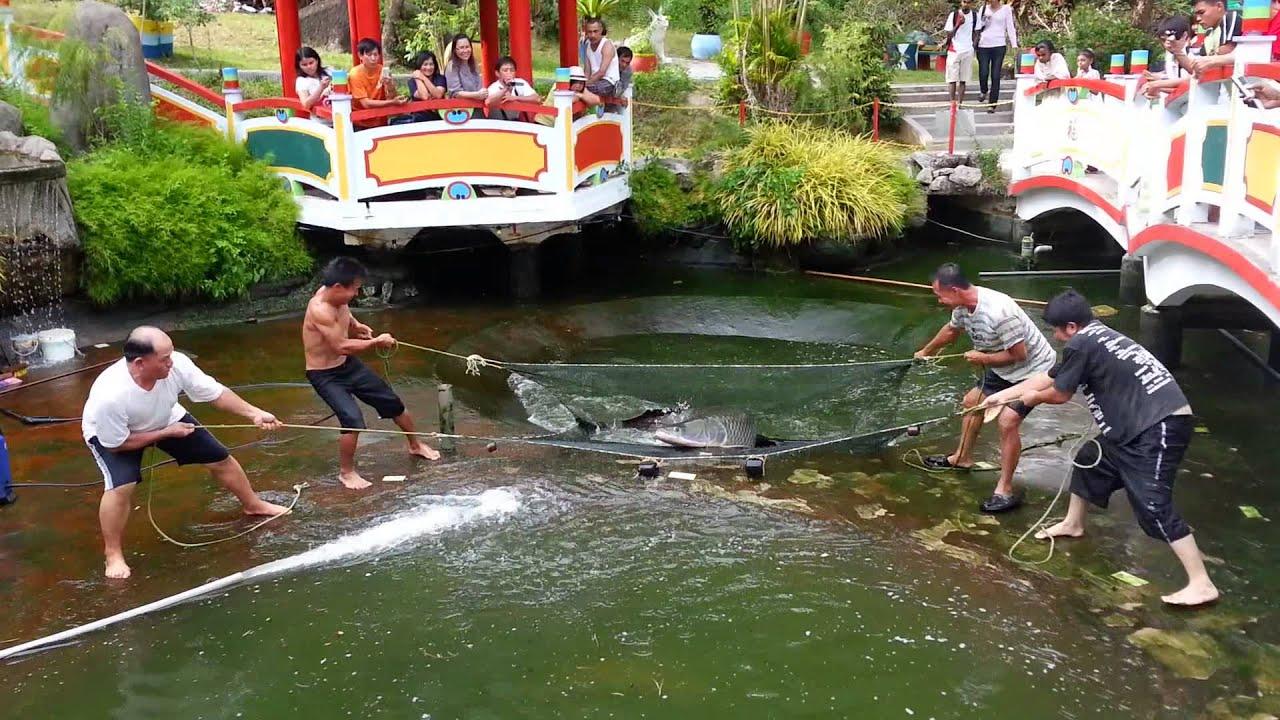 Cleaning Arapaima ponds - YouTube