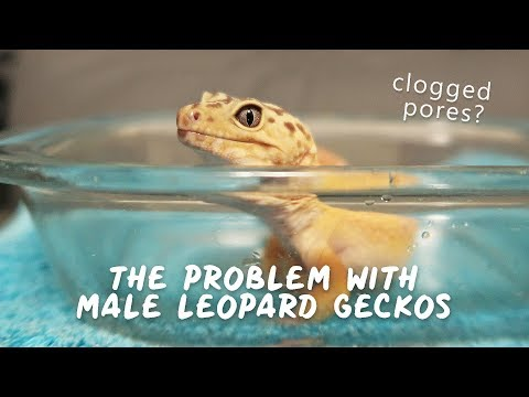 Unclogging Femoral Pores | LEOPARD GECKO