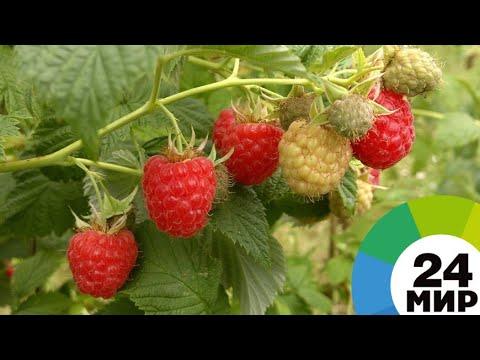 Вкусно и органично: в Армении выращивают малину и киноа без химикатов - МИР 24