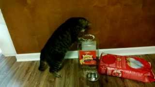 Worlds smartest Cat ever