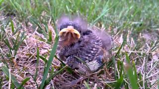 Baby Bird that fell out of nest, and its siblings