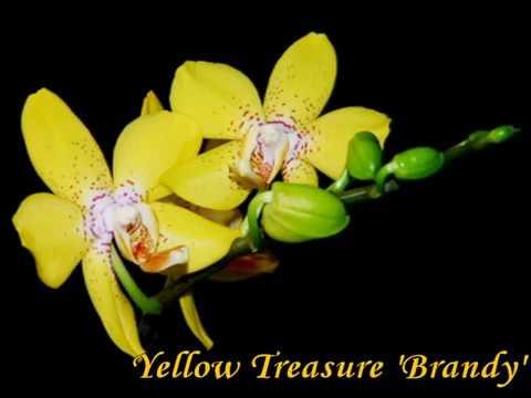 Сорта фаленопсисов - цвет ЖЕЛТЫЙ (Yellow Phalaenopsis Catalog)