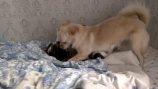 Кот дерется с собакой!