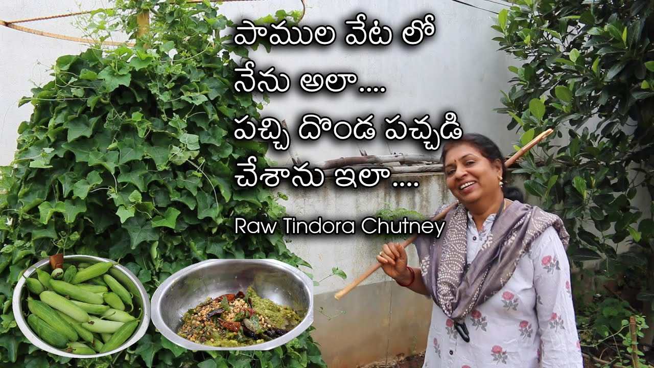 Raw Dondakaya Chutney/organic vegetables harvesting/Mykitchen garden in Hyderabad/Raw Tindora chutny