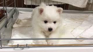ホワイトラボ犬舎 20180124 日本スピッツ女の子 全国優良ブリーダーの子...