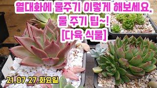 [21.07.27]한여름. 열대화에 물 준 다육식물 ?…