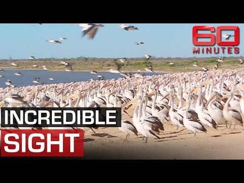 Thousands Of Pelicans Return To Outback After Drought | 60 Minutes Australia