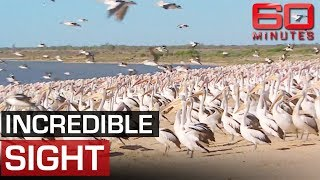 Thousands of pelicans return to outback after drought   60 Minutes Australia