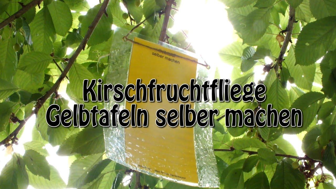 Gelbtafeln gegen Kirschfruchtfliegen selber machen  YouTube