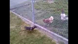 Angry Dog Vs Chicken / Pinscher Nain Vs Poulet