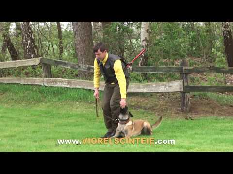 VIOREL SCINTEIE  & RONDA in obedience training !!!!