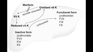 Procoagulation - Vitamin K (coagulation cascade components)