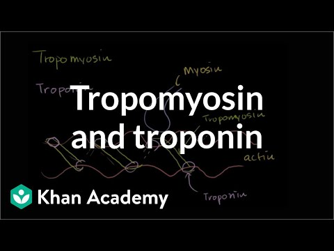 How tropomyosin and troponin regulate muscle contraction | NCLEX-RN | Khan Academy