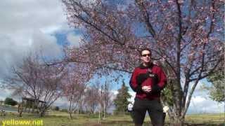 Cherry Blossoms in Los Angeles at Lake Balboa