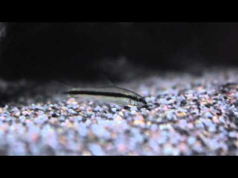 Siamese algae eater,,False Flying Fox,,Crossocheilus siamensis