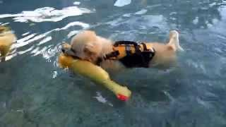 Pomeranian Puppy & Shih Tzu Dogs swim & play at swimming pool with dog toys